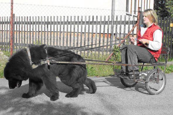 Výcvik psa do zápřahu